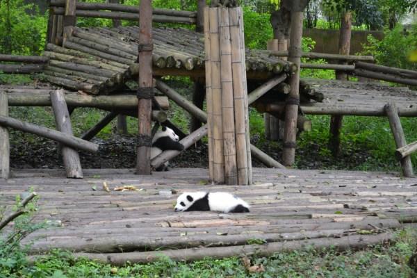 一直都以为小熊猫就是大熊猫小时候的,去到才知道原来小熊猫是另一科