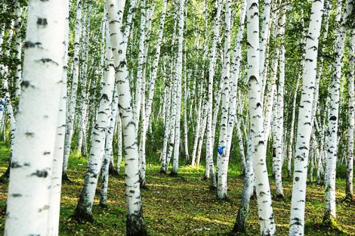 白桦林景区属于