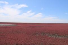 北京自驾盘锦,红海滩的那一片火红~匆匆一瞥那片红~