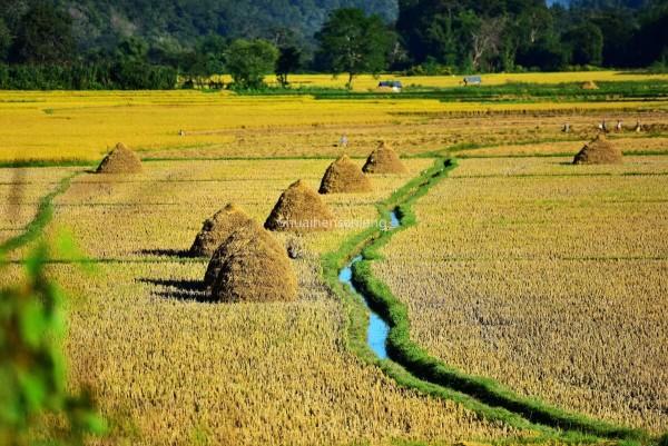 这里是,缅甸掸邦北部腊戌和昔卜的傣乡田园景观,每年的这个秋季总是