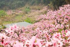 雅居乐第八届灰汤桃花节开幕在即 诸多亮点引爆三月