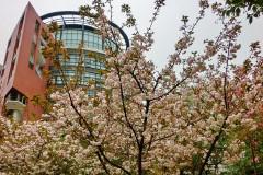游侠看世界:武汉华中师范大学的樱花和历史