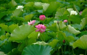 【普者黑图片】鱼虾多的池塘——普者黑