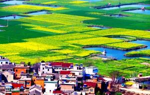 【芜湖图片】几斜阳,徽州菜花黄