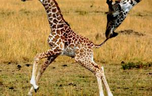 【肯尼亚图片】神目睽睽下的肯尼亚(超长游记、海量图片)