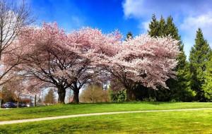 【温哥华图片】今日樱都温哥华赏樱攻略