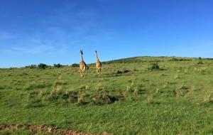 【马赛马拉国家公园图片】#肯尼亚-Safari马赛马拉#-南纬2度的灼日阳光混着红土扬起漫天的红尘