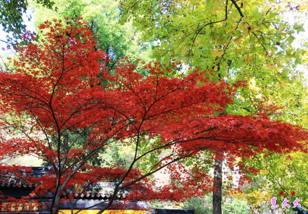 枫叶醉红----苏州天平山风景区