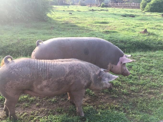 猪很累的可爱图片